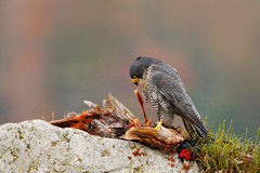 Peregrine Falcon, Falco peregrinus, with kill Common Pheasant on stone. Orange autumn forest in the background. Bird of prey, bloo royalty free stock photography