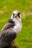 Peregrine Falcon (Falco peregrinus) Stock Images