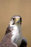 Peregrine Falcon (Falco peregrinus) Royalty Free Stock Photo
