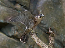 Peregrine falcon (Falco peregrinus) Royalty Free Stock Image
