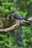 Peregrine Falcon falco peregrinus perched branch Royalty Free Stock Images
