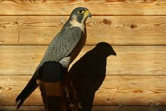 Peregrine Falcon (Falco peregrinus) Stock Photography