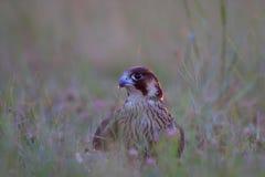 Peregrine Falcon/Falco peregrinus. Stock Photography