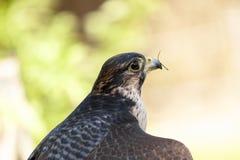 Peregrine falcon. Falco peregrinus Portrait Royalty Free Stock Photo