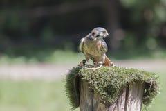 Peregrine falcon. Falco peregrinus Portrait Stock Image