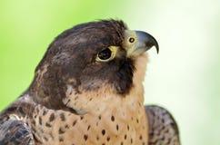 Peregrine Falcon (Falco peregrinus) portrait Stock Images