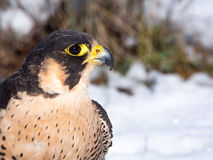 Peregrine falcon (Falco peregrinus)  portrait Royalty Free Stock Images