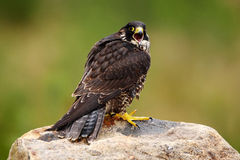 Peregrine Falcon, Falco-peregrinus, Raubvogel sitzend auf dem Stein mit grünem Waldhintergrund, Naturlebensraum, Frankreich Lizenzfreies Stockbild