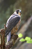 Peregrine falcon (Falco peregrinus) Royalty Free Stock Images