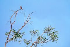 Peregrine falcon, Falco peregrinus, siting on the tree with blue sky, Tarcoles River, Carara National Park, Costa Rica. Bird in th stock image