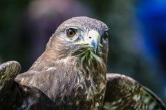 A Peregrine Falcon ,Falco peregrinus, sitting Stock Image