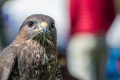 A Peregrine Falcon ,Falco peregrinus, sitting Stock Photos