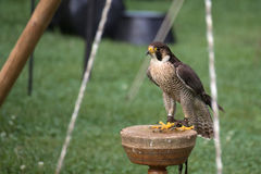 Peregrine falcon (Falco peregrinus) sitting on a wooden platform Stock Photo