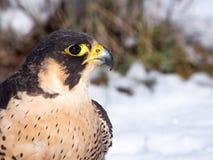 Peregrine Falcon (Falco peregrinus) stående royaltyfria bilder