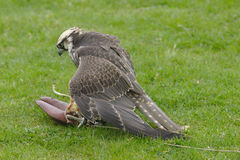 Peregrine Falcon. Falco peregrinus about to eat after catching the lure. Wings spread to protect food Stock Photos