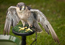 Peregrine Falcon (Falco peregrinus) with wings open Royalty Free Stock Photography