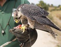 Peregrine Falcon and Falconer Stock Photography