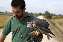 Peregrine Falcon and Falconer Stock Photos