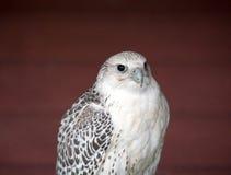 Peregrine falcon, the fastest bird Royalty Free Stock Photos
