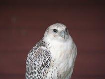 Peregrine falcon, the fastest bird Royalty Free Stock Image