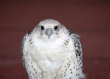 Peregrine falcon, the fastest bird Royalty Free Stock Photography