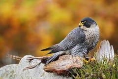 Peregrine Falcon feeding kill pheasant on the rock with yellow and orange autumn background Royalty Free Stock Photo