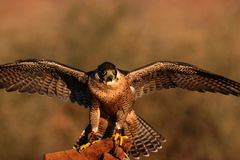 Peregrine falcon on fist Royalty Free Stock Photo