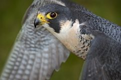 Peregrine Falcon Flaps Wings Stock Photography