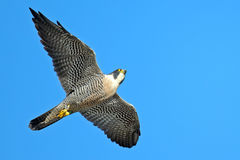 Peregrine Falcon. In flight against blue sky Stock Photo