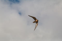 Peregrine Falcon in Flight. A fast peregrine falcon in flight against a cloudy sky Royalty Free Stock Photos