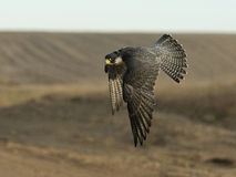 Peregrine Falcon. A Peregrine Falcon in flight over the prairie Royalty Free Stock Image