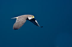 Prairie Falcon in Flight Royalty Free Stock Photos