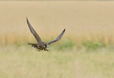 Peregrine Falcon in flight Royalty Free Stock Images