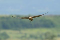 Peregrine Falcon in flight. A trained male Peregrine Falcon with attached radio transmitter to the leg is flying over the field Stock Photo