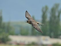 Peregrine Falcon in flight. A trained male Peregrine Falcon with attached radio transmitter to the leg is flying over the field Royalty Free Stock Photo
