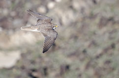 Prairie Falcon in Flight Viewed From Above Royalty Free Stock Image