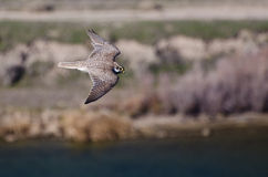 Prairie Falcon in Flight Viewed From Above Royalty Free Stock Photo