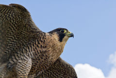 Peregrine Falcon flying Royalty Free Stock Photography
