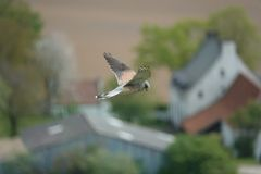 Peregrine Falcon Flying Above Farm Of Hougemont Royalty Free Stock Photos