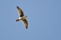 Prairie Falcon Flying in a Blue Sky Royalty Free Stock Images
