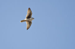 Prairie Falcon Flying in a Blue Sky Royalty Free Stock Photo