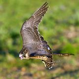 Peregrine Falcon flying on a green background. Falco peregrinus. Peregrine Falcon flying Falco peregrinus royalty free stock images