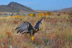 Peregrine falcon flying in a field Stock Images