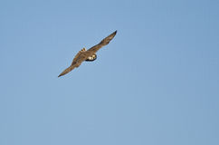 Prairie Falcon Flying and Making Eye Contact Stock Image