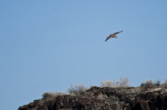 Prairie Falcon Flying Over the Ridge Royalty Free Stock Photography