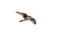 Prairie Falcon Flying on White Background Stock Photography