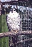 Peregrine Falcon, große schöne Karten, starker Falke, Raubvogel im wilden Lizenzfreie Stockfotos