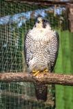 Peregrine Falcon, große schöne Karten, starker Falke, Raubvogel im wilden Stockfotografie