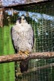 Peregrine Falcon, große schöne Karten, starker Falke, Raubvogel im wilden Stockbilder