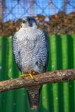 Peregrine Falcon, große schöne Karten, starker Falke, Raubvogel im wilden Lizenzfreies Stockfoto